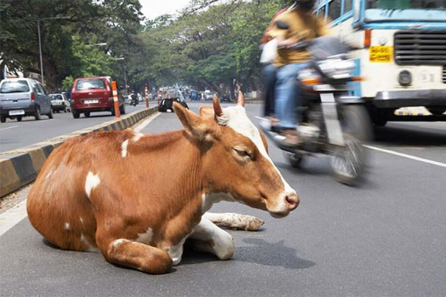 Arrival in Bengaluru - Indian cows on road